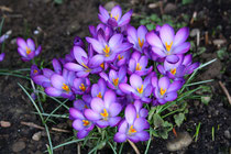7 Krokusse in voller Blüte/Crocuses in full bloom