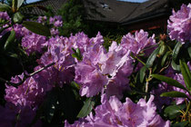54 Rhododendron