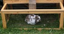 48 Zwergkaninchen/Dwarf rabbit