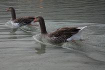 11 Gans in Griechenland/Geese in Greece