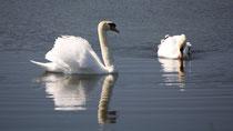 153 Zwei Schwäne/Two swans