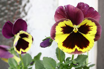 50 Gelb/lila Stiefmütterchen/Yellow/Purple pansy