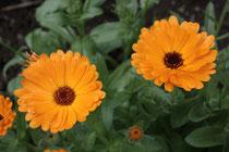 110 Ringelblume/Marigold