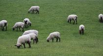 17 Schafe grasen/Sheeps browse