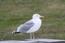 115 Seemöwe/Seagull