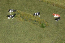 130 Kühe/Cows