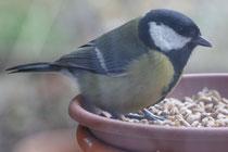 106 Meise im Vogelfutter/Tit in bird seed