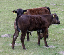 21 Braune Kühe/Brown cows