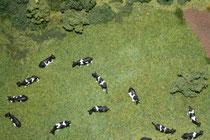 15 Kühe/Cows