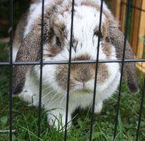 41 Zwergkaninchen/Dwarf rabbit