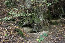 41 Wurzel/Root scar