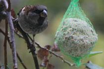 92 Spatz am Knödel/Sparrow on a dumpling