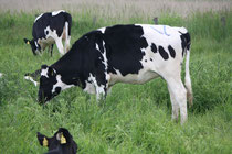 7 Kühe/Cows
