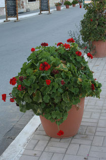 140 Blumen in Griechenland/Flowers in Greece