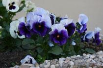 48 Lila Stiefmütterchen/Purple pansy