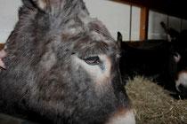 59 Esel/Donkey