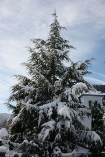 78 Tanne/Fir tree