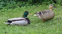 148 Enten im Garten/Ducks in a garden