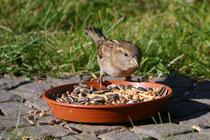 5 Ein Spatz frisst/A sparrows bird is eating