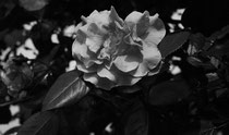 15 Rose/Rose