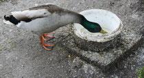 52 Erpel/Duck