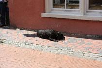 7 Labrador-Retriever