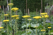 114 Fenchel/Fennel