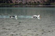 12 Enten in Griechenland/Ducks in Greece