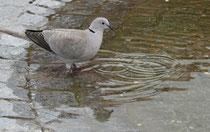 191 Taube/Pigeon