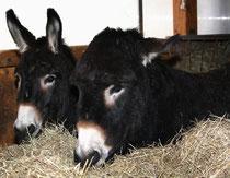 60 Esel/Donkey
