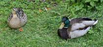 150 Enten im Garten/Ducks in a garden