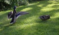141 Enten im Garten/Ducks in a garden