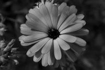 5 Ringelblume/Marigold
