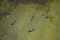147 Kühe/Cows