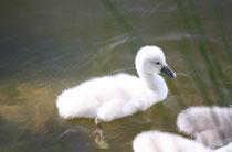 159 Schwankücken/Chicks of a swan