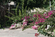 135 Blumen in Griechenland/Flowers in Greece