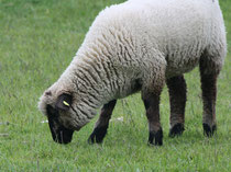 22 Ein Schaf grast/A sheep browses
