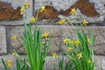 30 Narzissen/Daffodils