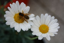 36 Magerite mit Biene/Daisies with bee