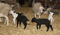 26 Schafe+Lämmer/Sheeps+Lambs