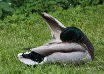 149 Ein Erpel im Garten/A duck in a garden