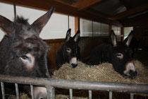 63 Esel/Donkey