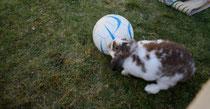 36 Zwergkaninchen/Dwarf rabbit