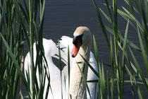 156 Ein Schwan/A swan