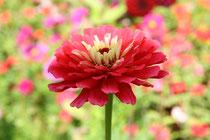 14 Rosa/weiß/gelbe Dahlie/Pink / white / yellow dahlia