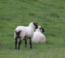 27 Zwei Schafe/Two sheeps