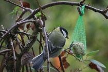 33 Meise guckt nach Vogelfutter/Tit looks at bird seed