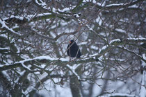 134 Amsel im Baum/Blackbird in a tree