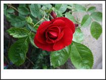 7 Rose