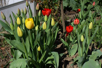 73 Rote und gelbe Tulpen/Red and yellow tulips